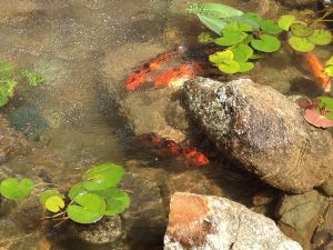 Backyard Koi Pond (3)