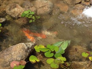 Backyard Koi Pond (4)